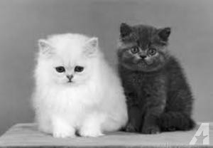 Cute Munckins Kittens For Sale