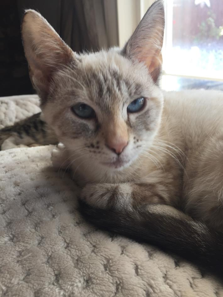 Adopt WILLOW a Siamese, Domestic Short Hair
