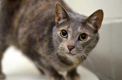 Adopt Berkli a Gray or Blue Domestic Shorthair / Domestic Shorthair / Mixed cat