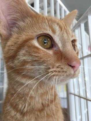 Adopt Rodger a Orange or Red Domestic Shorthair / Domestic Shorthair / Mixed cat