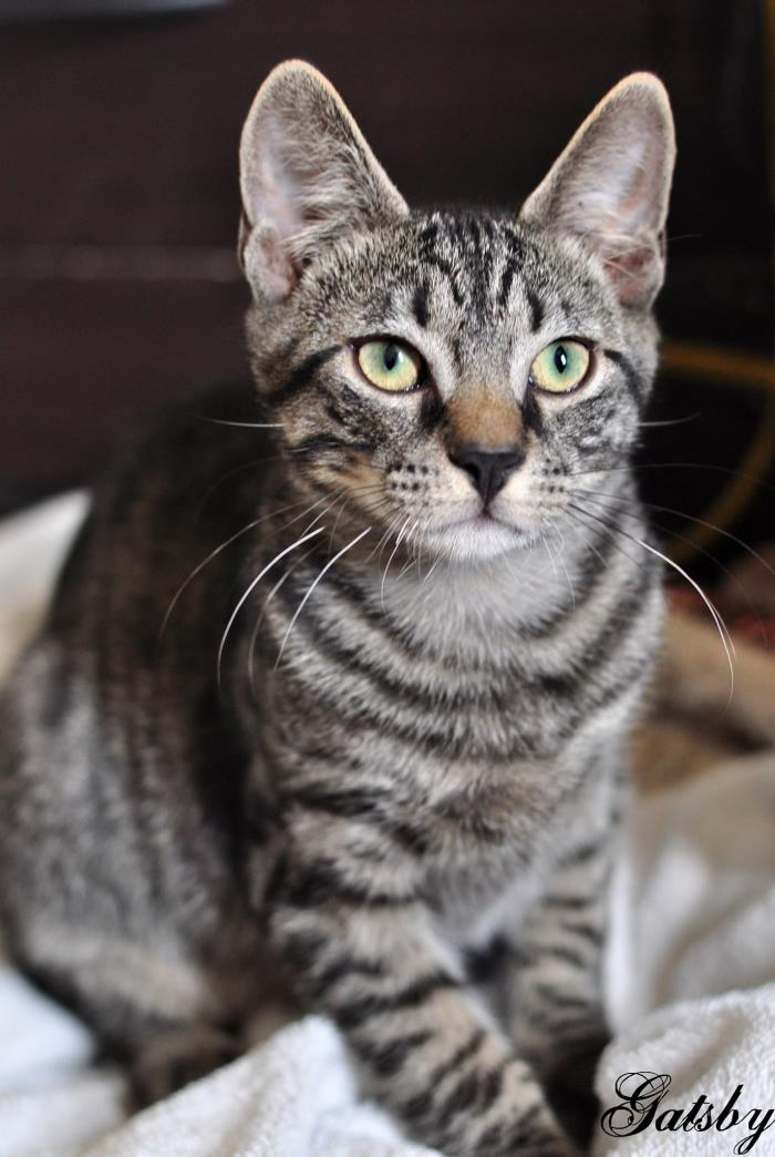 Adopt Gatsby a Brown Tabby Domestic Shorthair (short coat) cat in Manahawkin