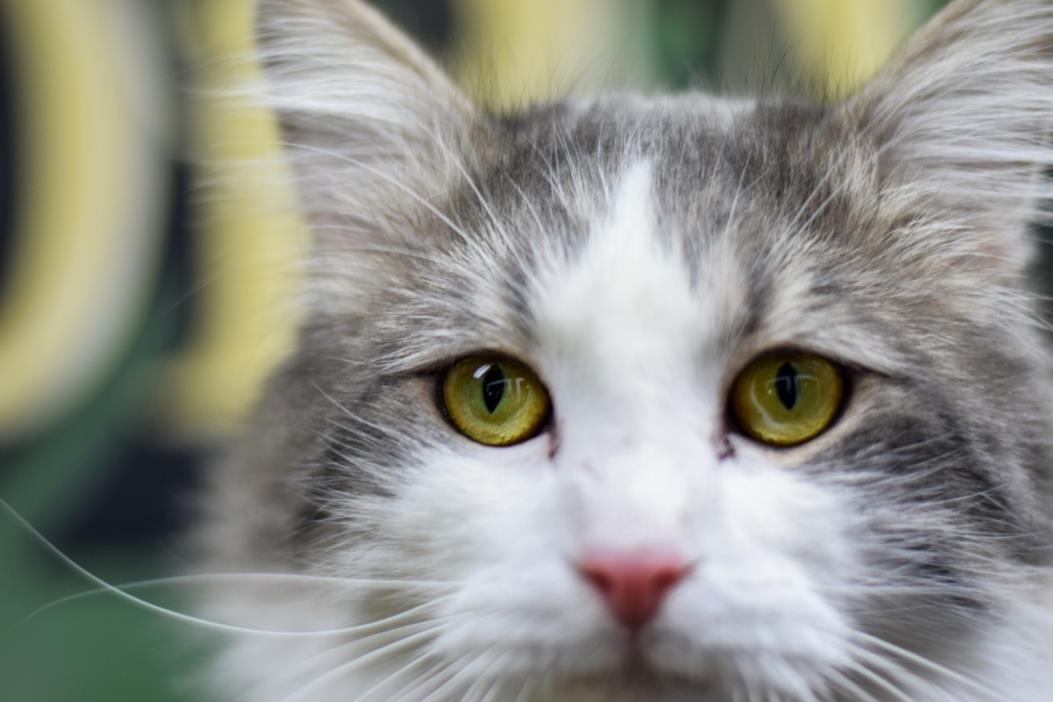 Adopt Tenzin a White (Mostly) Domestic Longhair (long coat) cat in Boise