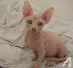 CFA registered, FeLV Sphynx Kittens