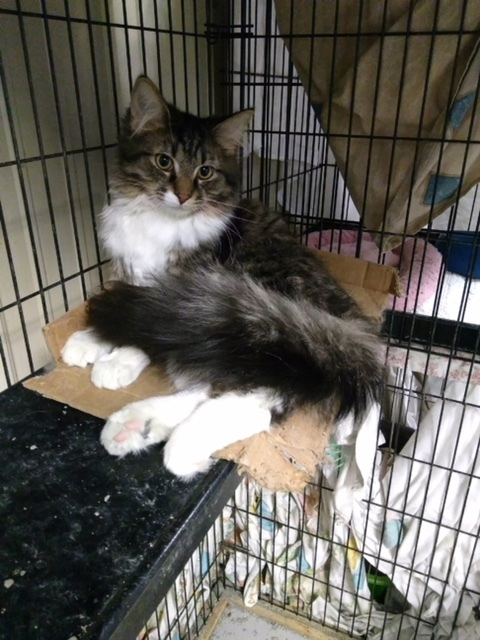 Adopt Major a Domestic Medium Hair