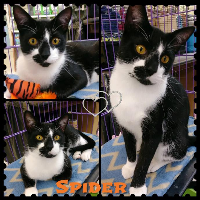 Adopt Spider a Domestic Short Hair