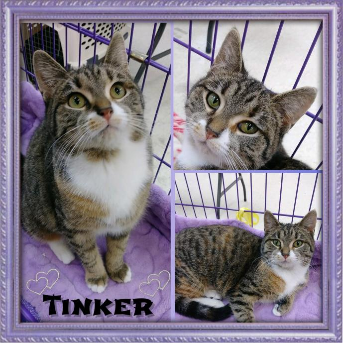 Adopt Tinker a Tabby