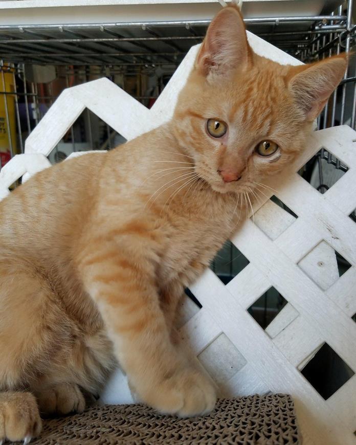 Adopt Razz a Orange or Red Domestic Shorthair (short coat) cat in Bonita