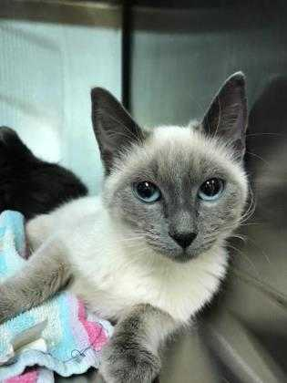Adopt Fromage a Cream or Ivory Siamese / Domestic Shorthair / Mixed cat in