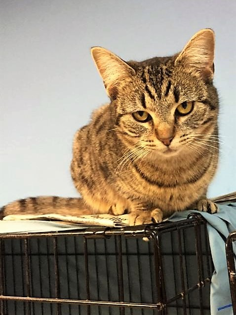 Adopt Prissy a Brown Tabby Domestic Shorthair (short coat) cat in Glen Mills
