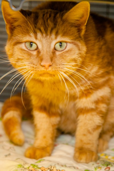 Adopt Morris a Orange or Red Tabby Domestic Shorthair (short coat) cat in