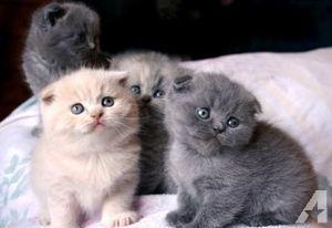 Pure Scottish sliver tabby kitten