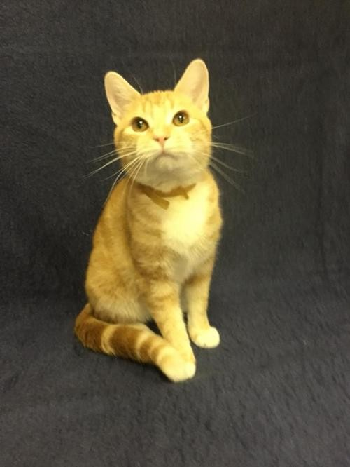 Adopt Oscar a Orange or Red (Mostly) Domestic Shorthair / Mixed (short coat) cat