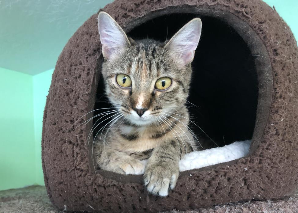Adopt Ember a Tabby