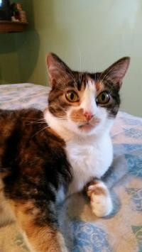 Adopt Baby a Calico or Dilute Calico Calico (short coat) cat in Lexington