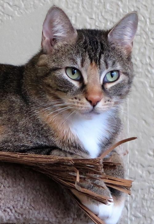 Adopt Danessa a Calico or Dilute Calico Domestic Shorthair / Mixed (short coat)