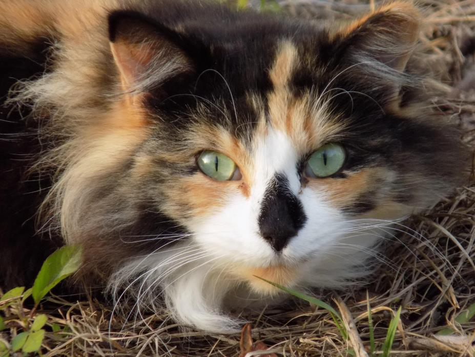 Adopt Butterfly a Calico