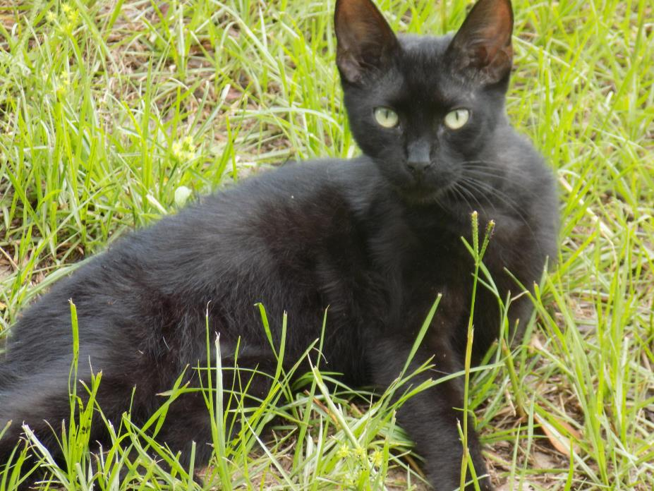 Adopt Jerry a Domestic Short Hair