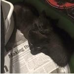 Adopt Lestat a Black (Mostly) Domestic Shorthair / Mixed (short coat) cat in