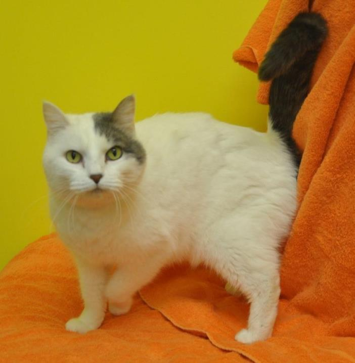 Adopt Mia a Domestic Shorthair / Mixed (short coat) cat in Sunrise Beach
