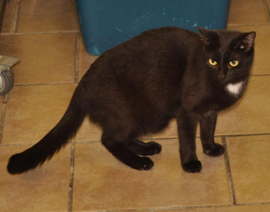 Adopt Pitch a Domestic Shorthair / Mixed (short coat) cat in Sunrise Beach