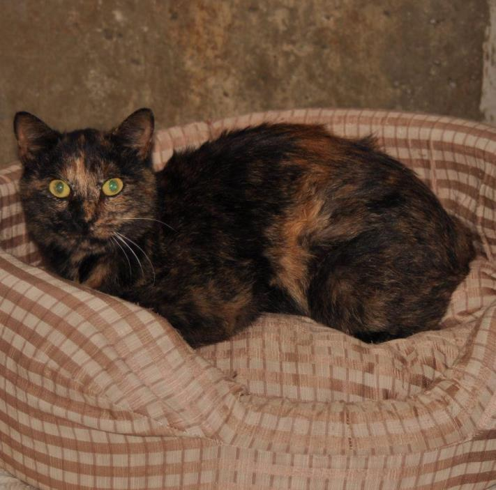Adopt Miss Lilly a Domestic Shorthair / Mixed (short coat) cat in Sunrise Beach