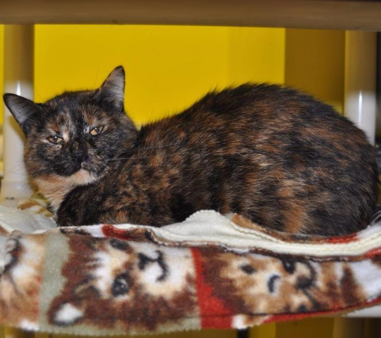 Adopt Peachy a Domestic Shorthair / Mixed (short coat) cat in Sunrise Beach