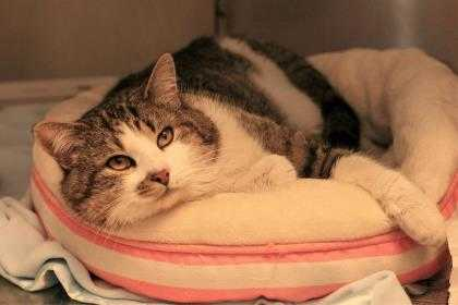 Adopt Sammy a Brown or Chocolate Domestic Shorthair / Domestic Shorthair / Mixed