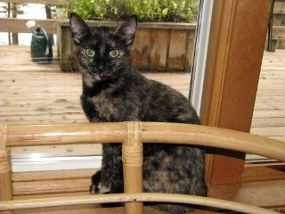 Adopt Turtle a Tortoiseshell Domestic Shorthair / Mixed (short coat) cat in