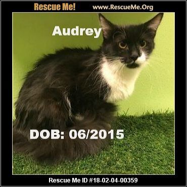 Adopt Audrey a Domestic Medium Hair