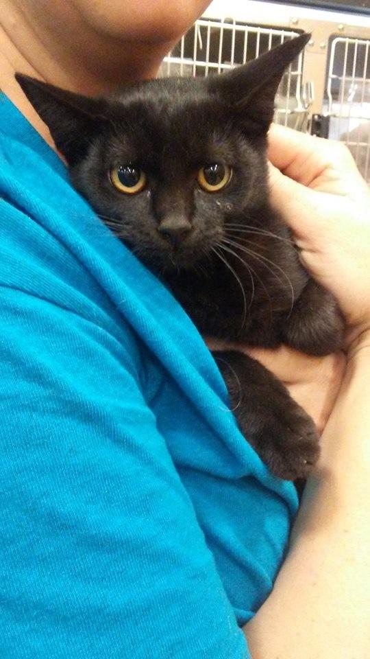 Adopt Deb a All Black Domestic Shorthair (short coat) cat in Levelland