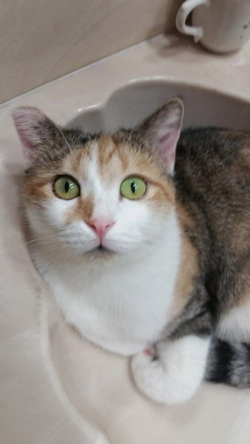 Adopt Daisy Duke a Calico or Dilute Calico Calico / Mixed (short coat) cat in