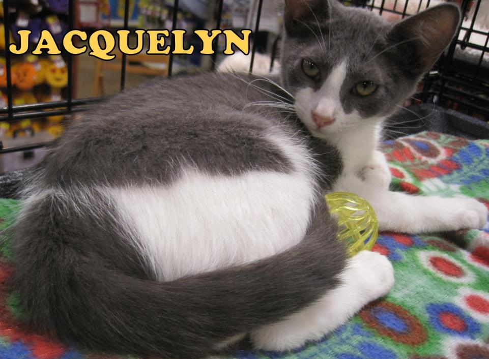 Adopt Jacquelyn a White (Mostly) Domestic Shorthair (short coat) cat in