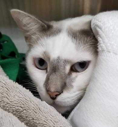 Adopt Porter a White Domestic Shorthair / Domestic Shorthair / Mixed cat in