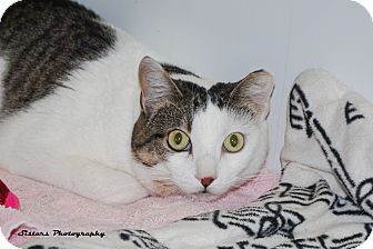 Adopt Charisma a White (Mostly) Domestic Shorthair (short coat) cat in Lincoln