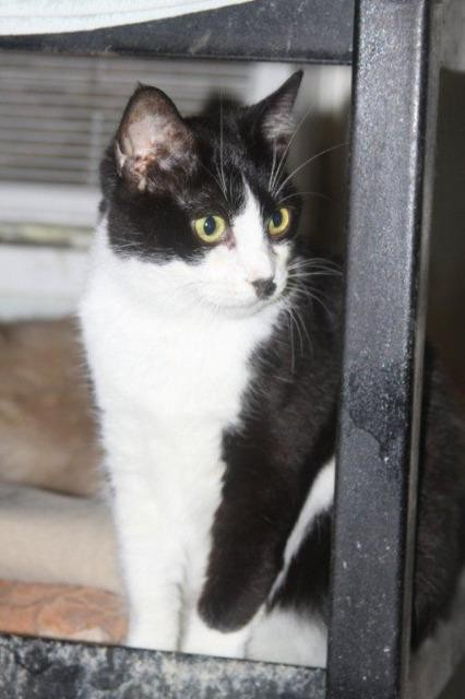 Adopt Ariel a Domestic Shorthair / Mixed (short coat) cat in New Bern