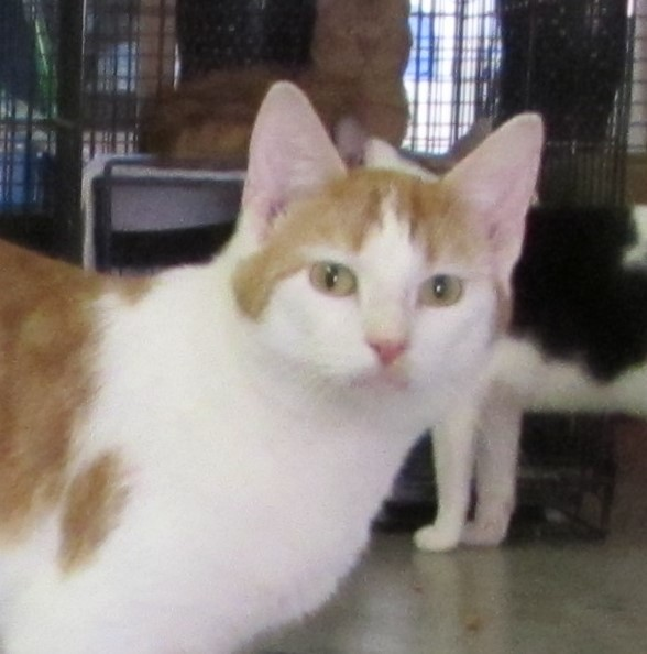 Adopt Bruce a Orange or Red (Mostly) Domestic Shorthair (short coat) cat in