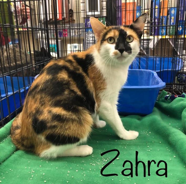 Adopt Zahra a Domestic Short Hair