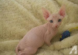 Male and Female (Sphynx) Kittens For Sale.