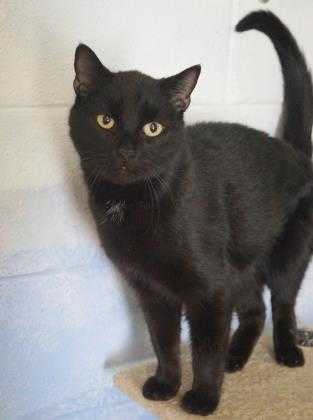Adopt Genesis (C18-001) a All Black Domestic Shorthair / Domestic Shorthair /