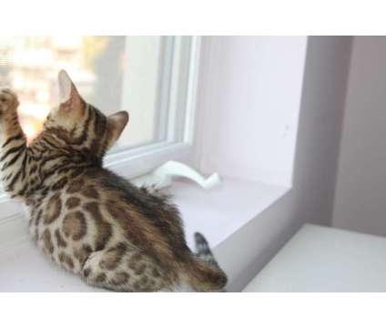 TICA reg.bengal kittens
