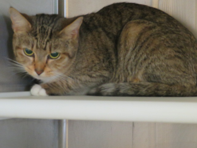 Adopt Dixie a Domestic Short Hair