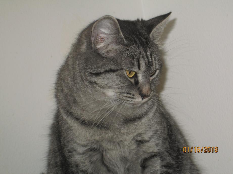 Adopt LEANNA #154268 a Tabby