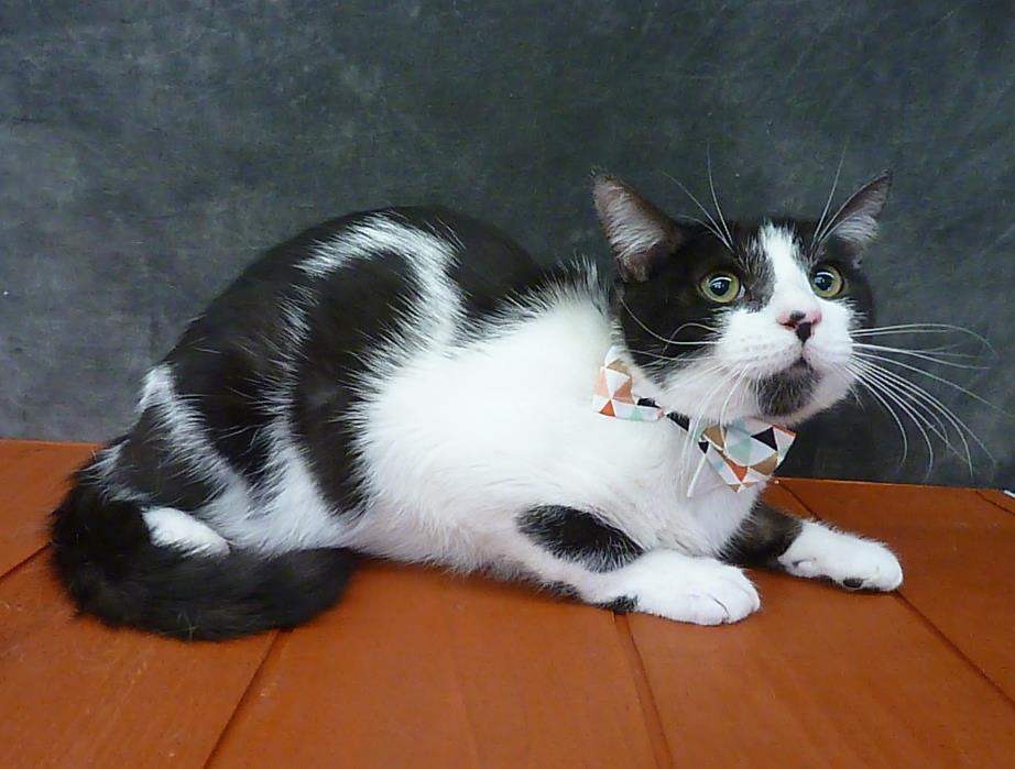 Adopt Boston a Domestic Short Hair