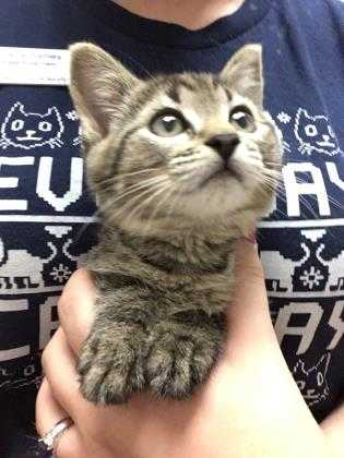 Adopt Darcy a Brown or Chocolate Domestic Shorthair / Domestic Shorthair / Mixed