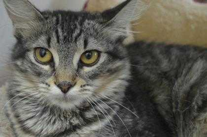 Adopt Zanna a Gray or Blue Domestic Shorthair / Domestic Shorthair / Mixed cat