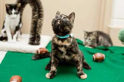 Adopt Marigold a All Black Domestic Shorthair / Domestic Shorthair / Mixed cat