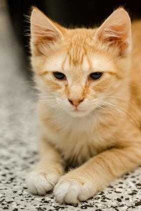 Adopt Bopper a Tan or Fawn Domestic Mediumhair / Domestic Shorthair / Mixed cat