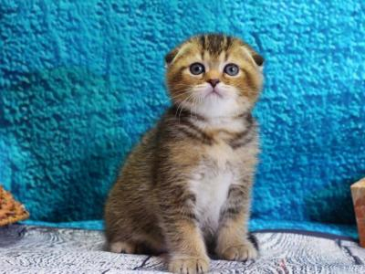 Scottish Fold Golden Male Kitten