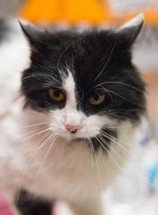Adopt Jasper a All Black Domestic Longhair / Domestic Shorthair / Mixed cat in