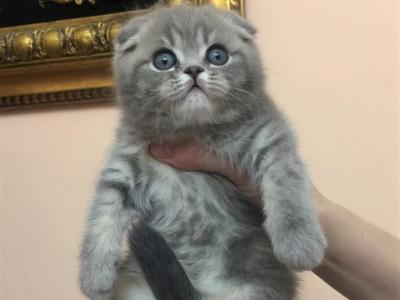 Scottish Fold Tabby Male Kitten